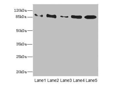 TAS1R3 antibody