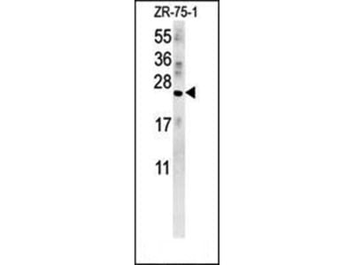 AVP antibody
