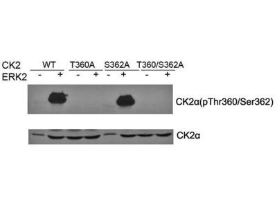 CK2 alpha (phospho-Thr360/Ser362) antibody