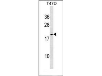 NME6 antibody
