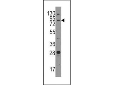 Junctophilin 3 antibody