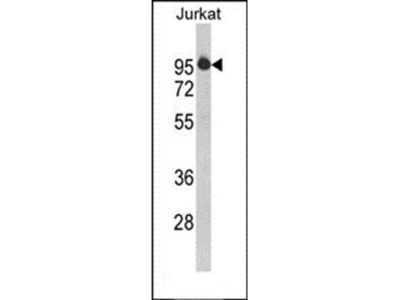 HTATSF1 antibody