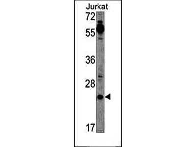 CRIPTO antibody
