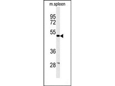 CORO6 antibody