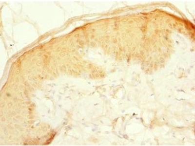 CFAP20 antibody