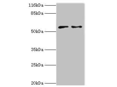 CRISPLD2 antibody