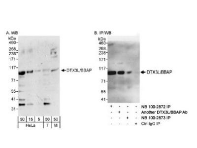 DTX3L Antibody