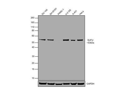 SUFU Polyclonal Antibody