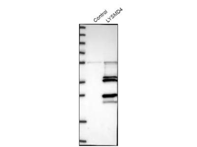 LYSMD4 Antibody