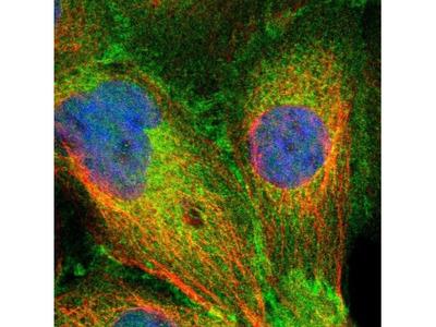 SLK Antibody