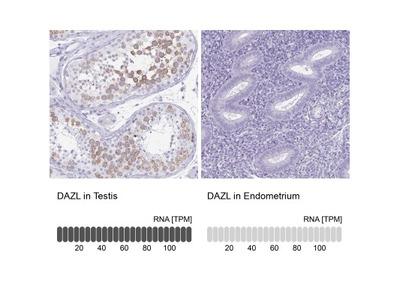 DAZL Antibody