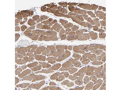 URB/CCD80 Antibody