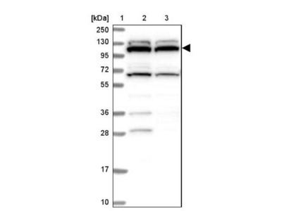 RNF111 Antibody