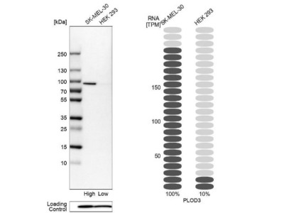 PLOD3 Antibody
