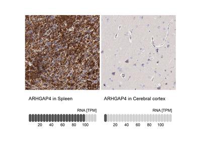 Anti-ARHGAP4 Antibody