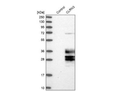 CLRN3 Antibody