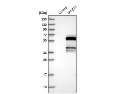 IPCEF1 Antibody