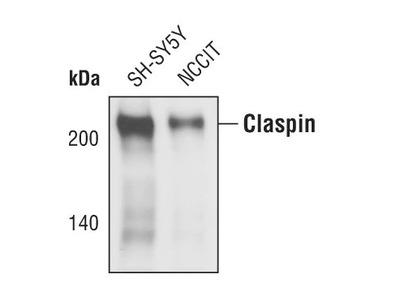Claspin Polyclonal Antibody