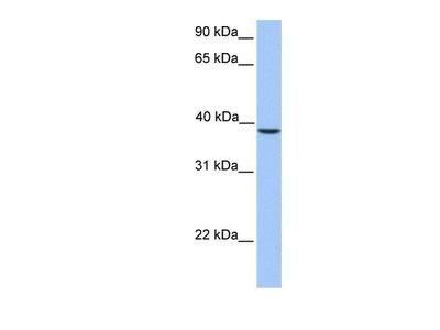 Rabbit Polyclonal SUNC1 Antibody
