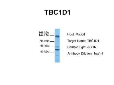 TBC1D1 Antibody