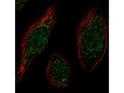 MafB Antibody