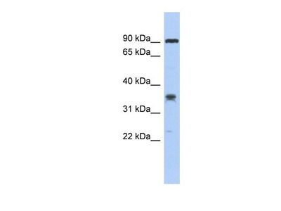 LRRC73 Antibody