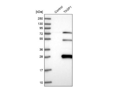 TASP1 Antibody