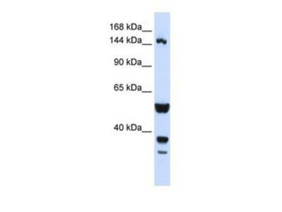 TARSH Antibody