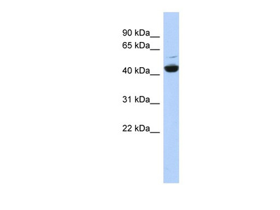 ATP6V1C1 Antibody