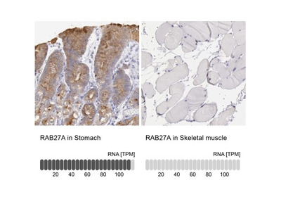 Rab27a Antibody