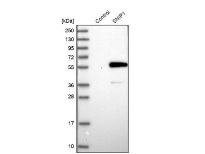 SNIP1 Antibody