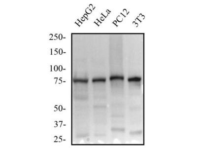 beta-Catenin Antibody (12F7)