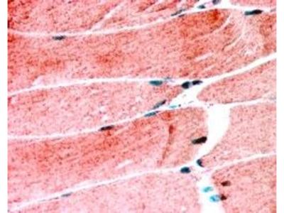 MURF1 Antibody