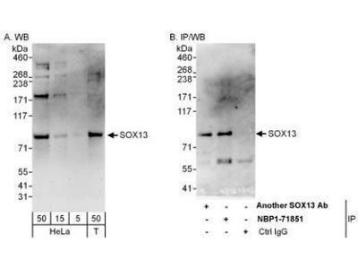 Rabbit Polyclonal SOX13 Antibody