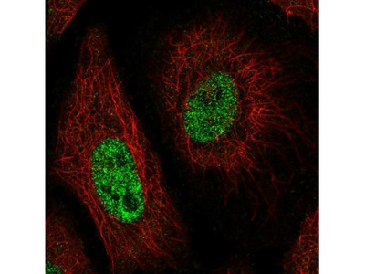 Caspr1 Antibody