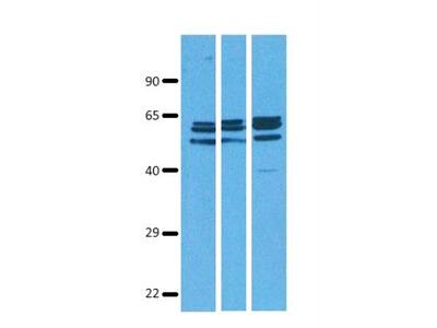 SLC38A9 Antibody