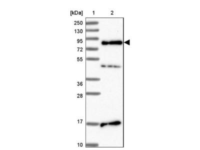 SRRM5 Antibody