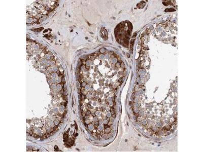 LRRC56 Antibody