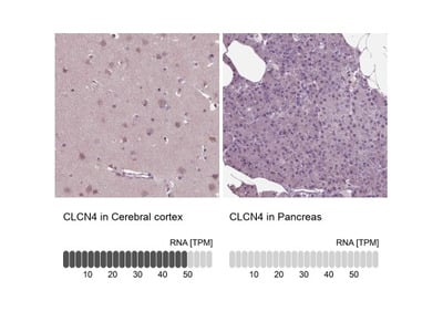 CLCN4 Antibody