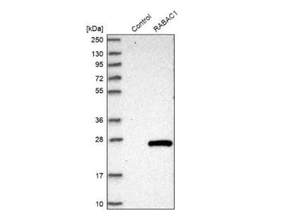 PRA1 Antibody