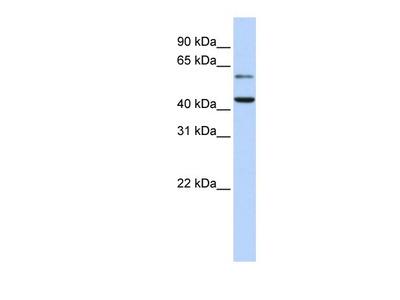 Rabbit Polyclonal CMAS Antibody