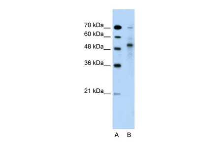 TRIM59 Antibody