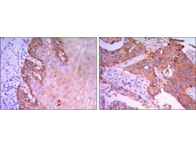 Rab25 Antibody (3F12)