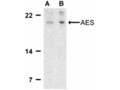 Rabbit Polyclonal GRG (Groucho homolog) Antibody
