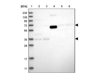 ICB1 Antibody