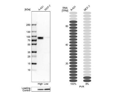 CD155 / PVR Antibody