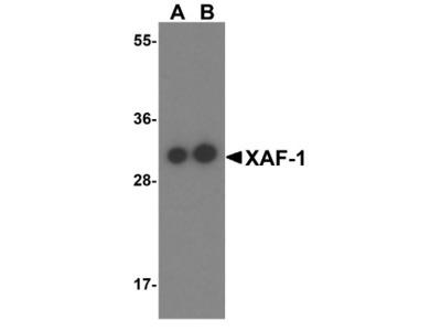 XAF1 Antibody