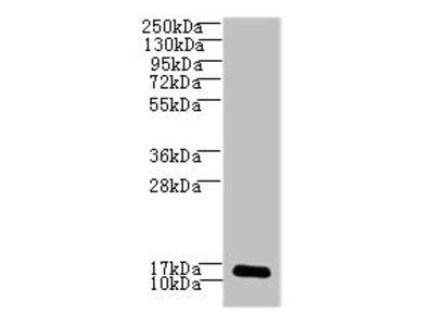 LSM7 antibody