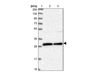 BCDIN3D Antibody