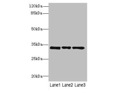 PECR antibody